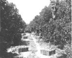 Picking oranges in a grove near Lakeland, Florida